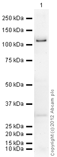 Western blot - Anti-PDE4D3 antibody (ab14614)