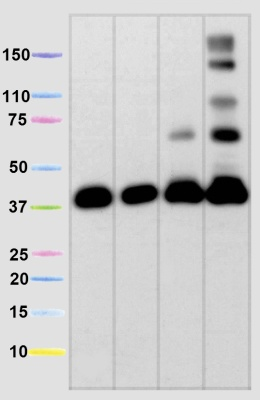 Western blot - MTCO1 antibody [1D6] - Mitochondrial Marker (ab14705)