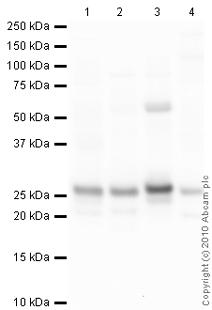 Western blot - NDUFS3 antibody [17D95] (ab14711)