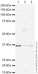 Western blot - NDUFA9 antibody [20C11] (ab14713)