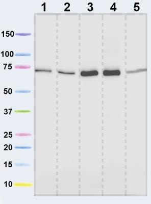 Western blot - SDHA antibody [2E3] (ab14715)