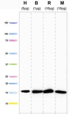 Western blot - Anti-COX IV antibody [20E8C12] (ab14744)