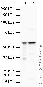 Western blot - ATP5A antibody [15H4] (ab14748)