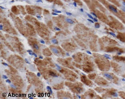Immunohistochemistry (Formalin/PFA-fixed paraffin-embedded sections)-ATP5A antibody [15H4](ab14748)