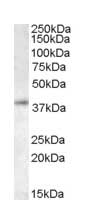 Western blot - RING2 / RING1B / RNF2 antibody (ab14751)