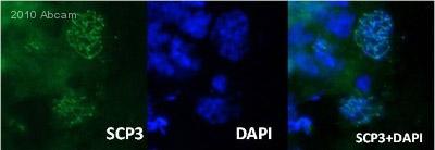 Immunohistochemistry (Frozen sections) - SCP3 antibody (ab15093)