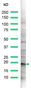 Western blot - Claudin 1 antibody (ab15098)