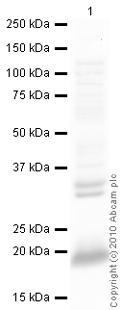 Western blot - Claudin 4 antibody (ab15104)
