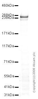 Western blot - Dysferlin antibody (ab15108)