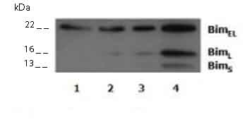 Western blot - Bim antibody (ab15184)