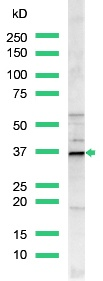 Western blot - Cyclin D1 antibody, prediluted (ab15196)