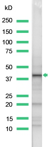 Western blot - Wnt1 antibody, prediluted (ab15252)