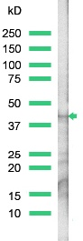 Western blot - Anti-Actin antibody, prediluted (ab15265)