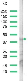 Western blot - Anti-Actin antibody, prediluted (ab15265)