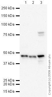 Western blot - Cytokeratin 19 antibody (ab15463)
