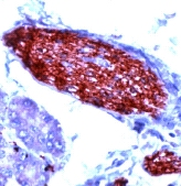 Immunohistochemistry (Formalin/PFA-fixed paraffin-embedded sections) - PGP9.5 antibody - Neuronal Marker (ab15503)