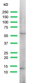 Western blot - Retinoid X Receptor gamma antibody (ab15518)