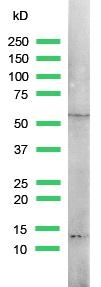 Western blot - Retinoid X Receptor gamma antibody, prediluted (ab15519)