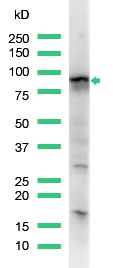 Western blot - STAT5a antibody, prediluted (ab15525)