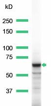 Western blot - Syk antibody (ab15528)