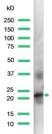 Western blot - Placental lactogen antibody (ab15554)