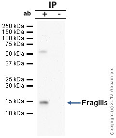 Immunoprecipitation - Anti-Fragilis antibody - Primordial Germ Cell Marker (ab15592)