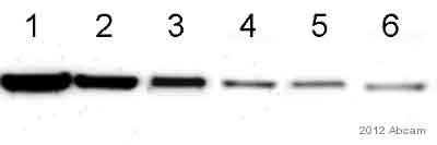 Western blot - Anti-Staphylococcus alpha Hemolysin antibody (Biotin) (ab15950)
