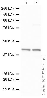 Western blot - HeLa (Human epithelial carcinoma cell line) Nuclear Lysate (ab150036)