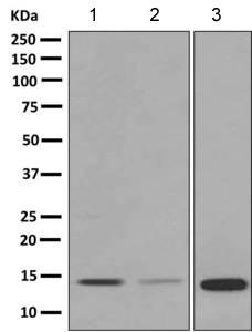 Western blot - Anti-Prokineticin 1 antibody [EPR9699] - C-terminal (ab150375)