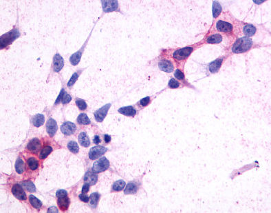 Immunocytochemistry - Anti-GPCR GPR44 antibody - Extracellular domain (ab150632)
