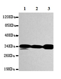 Western blot - Anti-PPP1A antibody (ab150782)