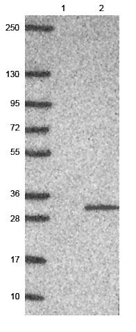 Western blot - Anti-MRO antibody (ab150813)