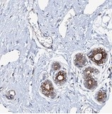 Immunohistochemistry (Formalin/PFA-fixed paraffin-embedded sections) - Anti-PAMCI antibody - N-terminal (ab150853)