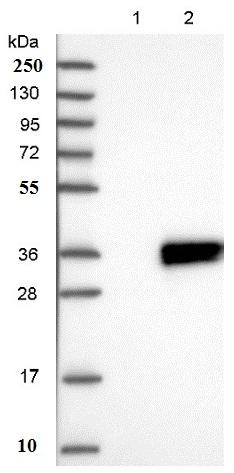 Western blot - Anti-ATP5SL antibody (ab150873)