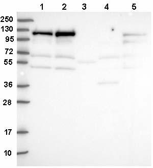 Western blot - Anti-KRI1 antibody (ab150908)