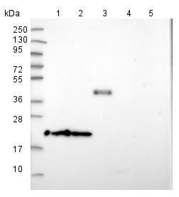 Western blot - Anti-TMEM126A antibody (ab150954)