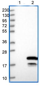 Western blot - Anti-FXYD6 antibody (ab151209)
