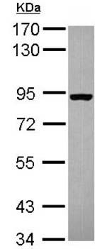 Western blot - Anti-SEC23B antibody (ab151258)