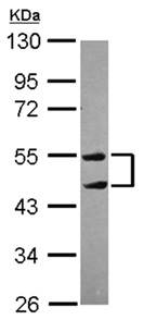 Western blot - Anti-TRIM10 antibody (ab151306)
