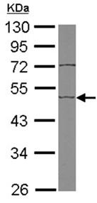 Western blot - Anti-EDIL3 antibody (ab151308)