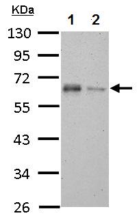 Western blot - Anti-TAB1 antibody (ab151408)