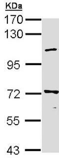 Western blot - beta COP antibody (ab151451)