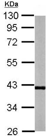 Western blot - Anti-Rffl antibody (ab151488)