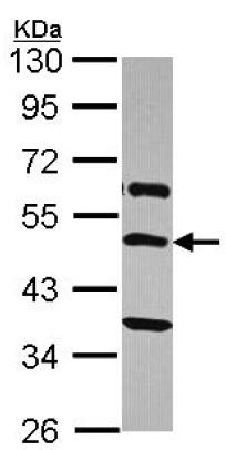 Western blot - Anti-TRH Receptor antibody - C-terminal (ab151510)
