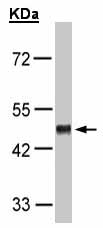 Western blot - GPR37L1  antibody (ab151518)