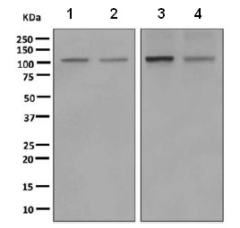 Western blot - Anti-PI3 Kinase p110 beta antibody [EPR5515(2)] (ab151549)