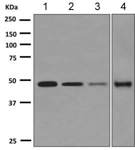 Western blot - Anti-STEAP3 antibody [EPR9812] (ab151566)