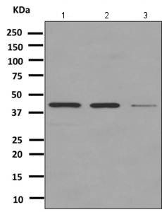 Western blot - Anti-SEC14L4 antibody [EPR10180] (ab151703)