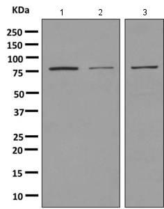 Western blot - Anti-Macrophage Scavenger Receptor I antibody [EPR7536] (ab151707)