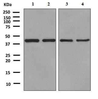 Western blot - Anti-LOC51035 antibody [EPR9136] (ab151723)